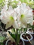 Fash Lady 2 ampoules d'amaryllis, bulbes de fleurs de Hippeastrum, bulbes de fleurs de bonsaï (pas de...