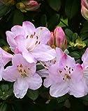 Lot de 6pots (9cm) Rhododendron Bécassine Grandes Fleurs Rose Arbuste Plante