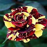 HuaYang 50pcs Arc en ciel Dragonfly rose fleurs Jardin Multicolor Graines rares - Modèle de dragon rouge rose