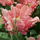 Aimado Seeds Garden - 100pcs Graines de Tulipa Tulipe Perroquet Princesse Irene Parrot/Orange, mélange...