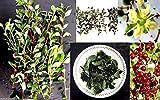 PLAT FIRM Germination Les graines PLATFIRM-50 Lawsonia inermis (Hennà Graine de plantes), utilisà pour...